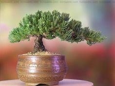 A Bonsai Juniper 6 to 7 Year Old Tree in Han-Kengai Cup: Amazon.com: Patio, Lawn & Garden