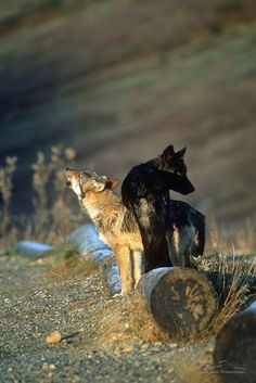 The world of wolves STOP KILLING WOLVES !
