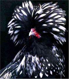 silkie cross seabright 10 Barnyard Mix Fresh Fertile Chicken Hatching Eggs