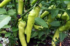 Growing banana peppers in your garden is easy and there are many types of banana pepper. You can find out how to grow and care for different types of banana pepper in this article.