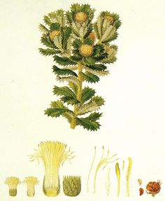 Banksia sessilis, commonly known as parrot bush Plant Pictures, Old Pictures, Planting Vegetables, Vegetable Garden, Parts Of A Flower, Plant Drawing, Old Paintings, Cockatoo, Botanical Illustration