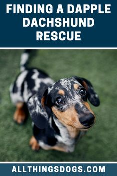 Doxies have their own breed club too, and for anyone looking for a Dapple Dachshund rescue, there are a number of rescue shelters found across the US. Read our breed guide to find out what you should know before you get one home. Adoptable Dachshund Dog, Dapple Dachshund Puppy, Dachshund Adoption, Long Haired Dachshund, Funny Dachshund Pictures, Weenie Dogs, Chihuahua Dogs, Loyal Dogs, Art Design