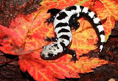 A Marbled Salamander After My Own Heart - Another mole salamander much like the previously posted Barred Tiger Salamander is this Marbled Salamander. Both appear to be pretty happy fellows, judging from the large smile on this salamander's face and the Tiger's. However, unlike the Tiger Salamander which can grow up to 14 inches in length, the Marbled Salamander typically only reaches a measly 4 inches. Kind of a bust.