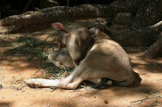 Calf, Kokkre Belur India