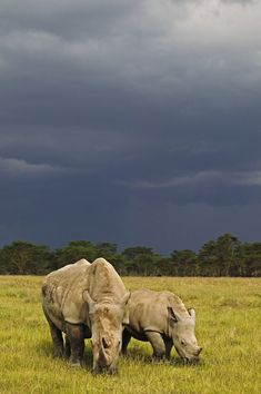 White rhinoceros in Lake Nakuru National Park, Kenya. (c) WWF-Canon / Martin… African Forest Elephant, White Rhinoceros, Animal Habitats, Baboon, Mundo Animal, African Animals, Animals Of The World, Fauna, Endangered Species