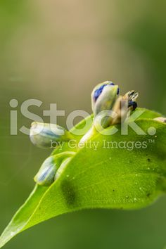 bud in leaf royalty-free stock photo