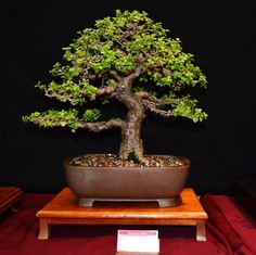 Portulacaria afra Jade Plant Bonsai, Succulent Bonsai, Juniper Bonsai, Jade Plants, Bonsai Plants, Bonsai Garden, Money Tree Bonsai, Bonsai Tree Care, Indoor Bonsai Tree