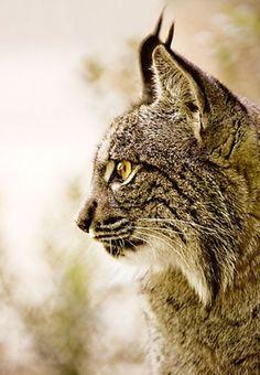 Spanish Lynx (Lynx pardina)