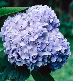 Big Daddy Hydrangea features 14 inch-wide cluster of blue and pink blooms! More hydrangeas: http://www.bhg.com/gardening/trees-shrubs-vines/shrubs/hydrangea-guide/?socsrc=bhgpin073013bigdaddy=4