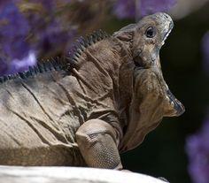 Yawning iguana by reneerwest
