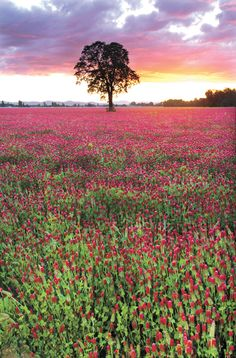 Fields of pink - Ylen Photography