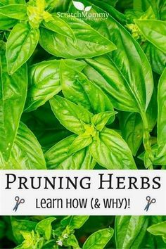 Pruning herbs will help keep them healthy and attractive. It's an essential gardening task that's easy to do. Come over to learn how and why to prune herbs. #GardeningTips Diy Herb Garden, Herbs Garden, Indoor Herb Gardening, Spice Garden, Indoor Herbs, Organic Gardening Tips, Edible Garden, Hydroponic Gardening, Gardening Blogs