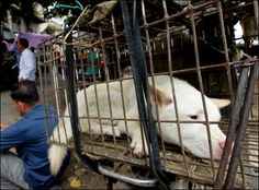 Thousands of dogs, many of them stolen pets, are captured and transported over long distances under horrific conditions.  Once in Yulin, a city in China's Guangxi province, they're held in crowded cages without food or water until they are killed. Often, they are beaten and their throats are slit in front of other terrified animals.