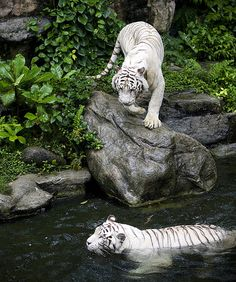 White Tigers at the Singapore Zoo | Flickr