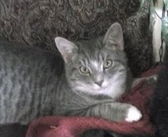>> Stratford, CT - Lost Grey w/White Cat Soundview Ave His name is Tippy Taco J. He is 8 months old, not neutered. Missing since March 30. Be on the lookout for this missing boy and help get him back home and safe. Please call (808) 284-9597. Stratford Cat Project: https://www.facebook.com/groups/265176376978228/permalink/433436193485578/