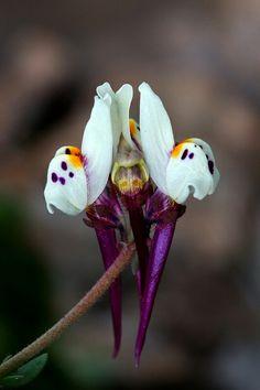 Linaria amethystia