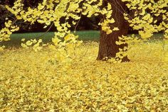We had a gingko tree in our front yard and I thought it was so beautiful. Daydreaming beneath it was one of my favorite things to do as a kid. Wish I had one of these trees in my yard now...