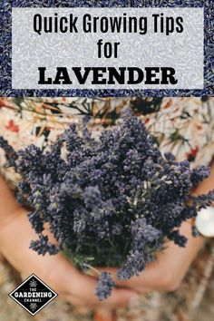 If you want to get started growing lavender in your garden, start with these quick growing tips for lavender plants.