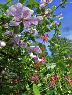 Klematis 'Huldine' som är vackrast underifrån och Kaprifol 'American beauty'