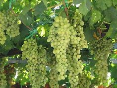 Формировка куста винограда путем обрезки очень важный агротехнический прием, это самая творческая и ответственная работа на винограднике. Обрезкой регулируют рост и плодоношение, она напрямую влияет на урожайность винограда . Виноград - растение, которое обладает практически…