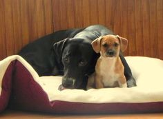 """From YouNews contributor Marewear who writes """"This is one year old Lab-Staffordshire Shelby Mustang and her best friend, 4 month old Georgie. They do everything together since Georgie arrived!"""""""