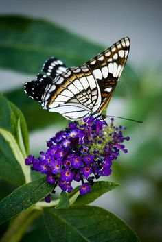 Butterfly Bush- If you like butterflies, and you want to attract them. Plant a butterfly bush next to a tree, or other flowers. This is the butterfly's favorite flower to drink from. Monarch to Swallowtails, they all love these bushes.