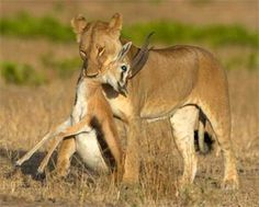 The above image is an example of prey - predator relationship. The female lion (lioness) is killing its prey, the giselle.