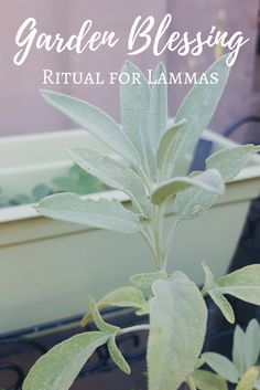 Lammas Garden Blessing Ritual - The Witch of Lupine Hollow Wiccan Spell Book, Wiccan Spells, Magick, Witchcraft, Wiccan Magic, Peppermint Spray, Cedar Smudge, Witch Rituals, Pagan Festivals