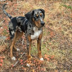 Carma's Juno ~ Catahoula Leopard Dog NALC registered (7months) Big Dogs, Cute Dogs, Dogs And Puppies, Doggies, Catahoula Cur, Bred Pit, Dog Backyard, Leopard Dog, Hound Dog