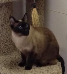 Topaz (Purebred Siamese) is an adoptable Siamese Cat in Thomasville, NC. Topaz is about 7 years old & is only being rehomed, because of her human's severe allergies. She is so funny and vocal. Once ...