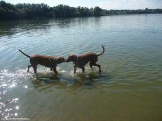 Öreg-Tó Club Hotel - Szállások #kutyabarat #szallas #kutyabarathelyek #kutyabaráthelyek #dogfriendly #hotel #dogfriendlyplaces #dog #kutya #Tata #vizsla #lake #swim #swimmingvizsla