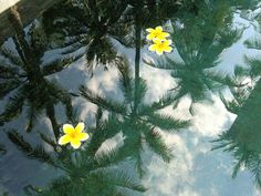 7/6(水)バリ島ウブドのお天気は晴れ。室内温度27.8℃、湿度72%。水に映る美しいヤシの木のシルエット。今日も暑くなりそうです!
