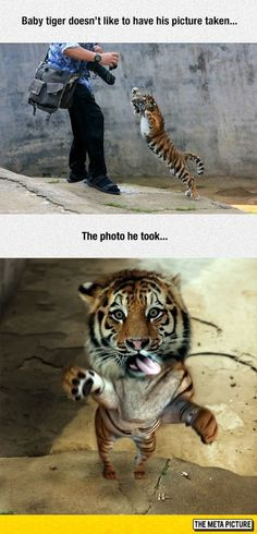 So i have you! #tiger