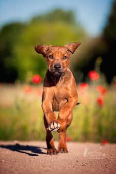 straight a head by Kerstin Mielke ~ Ridgeback**