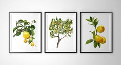 Botanical prints wall art #A011 - Set of 3 prints(8x10 inches).Lemon tree wall art, Lemon print,lemon tree watercolor painting. Yellow home decor, Fruit painting,Fruit prints.Lemon posters. Hello! This Prints are taken from my original watercolor! Printed on high-quality white paper! Each print measures 8x10 inches. Frames are Not Included.