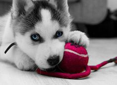 ohhh this just melts my heart. hi lil baby husky.