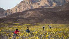 wild flowers in death valley