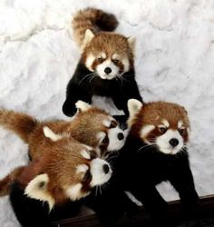Two baby Chinese red pandas and their parents huddle together at the Red River Zoo in Fargo, N. The pandas are part of the Species Survival Plan, which aims to help ensure the survival of threatened and endangered species. Baby Animals, Funny Animals, Cute Animals, Wild Animals, Cute Creatures, My Animal, Spirit Animal, Pet Birds, Fur Babies