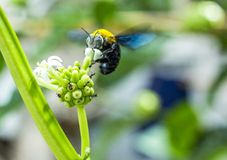 abelhas carpinteiro - Pesquisa Google