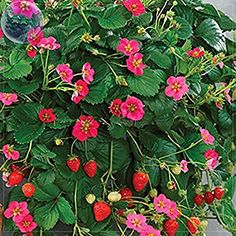 Solution Seeds Farm Rare Hierloom Pikan Strawberry Seeds, 100 Seeds, Professional Pack, red fruits pink flowers
