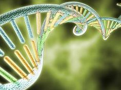 Sativa, Indica, or Hybrid? Cannabis Genome Project Hopes to Improve Hazy Labeling Marijuana / Cannabis / News Sativa, Indica, or Hybrid? Cannabis Genome Project Hopes to Improve Hazy Labeling Gene Therapy, Art Therapy, Genetic Counseling, Counseling Degree, Article Of The Week, Watermelon Nutrition Facts, Genome Project, Human Genome, Cystic Fibrosis
