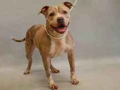 KELLY - #A1068976 - Urgent Manhattan - FEMALE BLUE MERLE/WHITE AM PIT BULL TER MIX, 3 Yrs - OWNER SUR - STRAY, NO HOLD Intake 03/31/16 Due Out 04/03/16