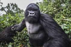 This amazing photo was taken by wildlife photographer Christophe Courteau, 46.   This Is What It Looks Like When A Drunk Gorilla's About To Punch You In The Face