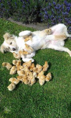 cute dog playing with baby chickens