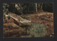 POSTCARD 1960s AFRICA WILD LIFE AFRICAN FAUNA ANIMALS CROCODILE reptiles AFRIKA