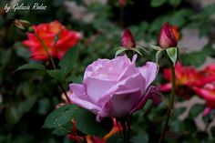 Roses after rain - Rhodes island