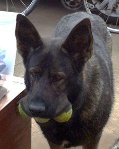 German Shepherd, Jada, picks up three tennis balls