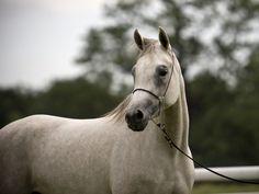 White-arabian-horse_1250501060.jpg 1024×768 pixels