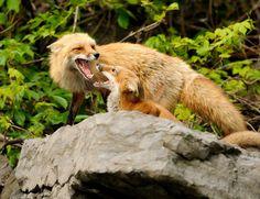 Red FoxesbyR. Gelly