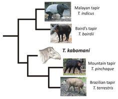 New living species of tapir: Hello, Tapirus kobamani | Tapir Cladogram | Dec 2013 Darren Naish on Tetrapod Zoology